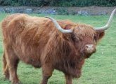 Vache des Highlands, Ecosse